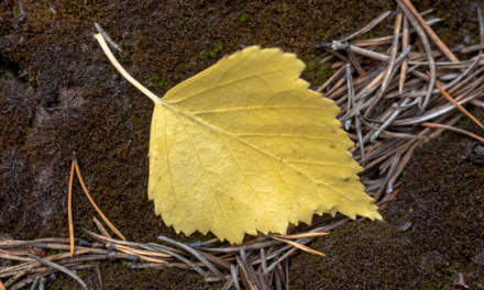 Yellow birch leaf – one of the first