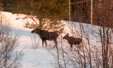 Two moose in the distance