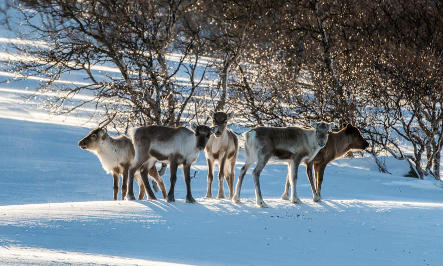 Reindeers in the mountains of Jämtland
