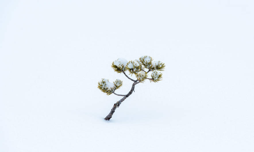 Solitary pine in the snow