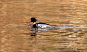 (Probably a ) red breasted merganser