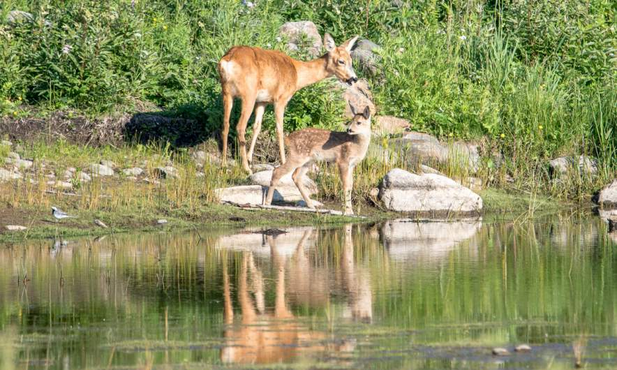 Deer and fawn on the bay