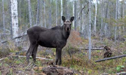 A moose glaring at us