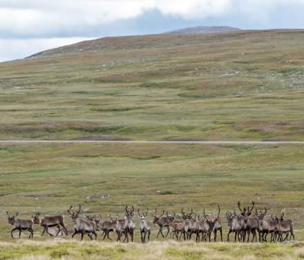 Reindeers approaching