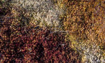Colours of the peat moss