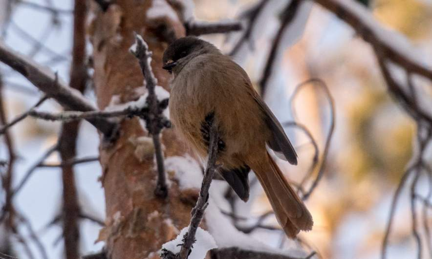 A fluffed up Siberian jay
