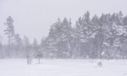 Snow covered swamp I