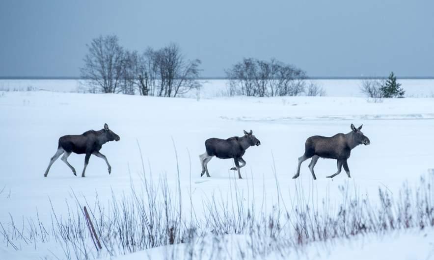 three-kind-moose