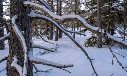 Tarv forest I