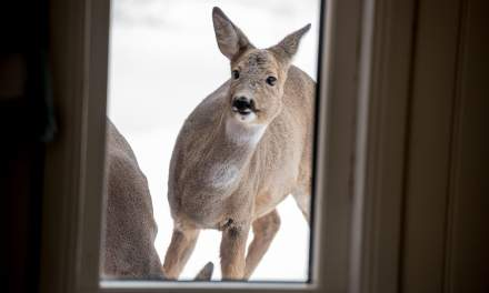 Cautious deer outside of the house