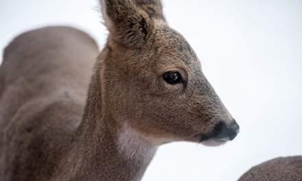 Deer portrait through the window