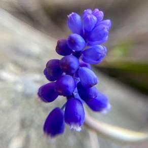 2021-05-28 Grape hyacinth
