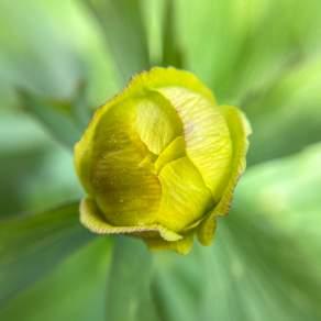 2021-05-31 Bud of a Globeflower