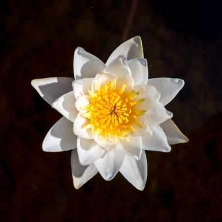 European white water-lily