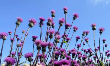 Thistles stretching to the sun