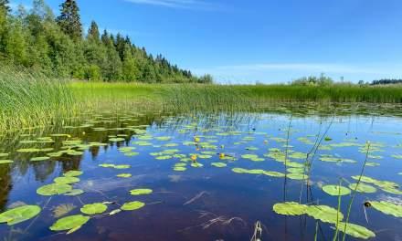 Fields of water lilies