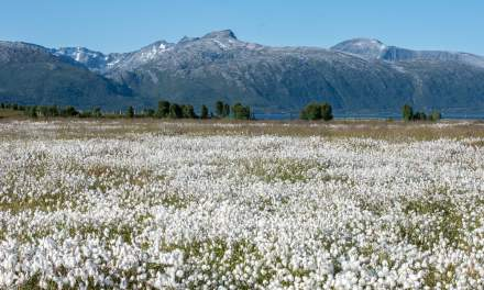 Cottongrass and mountains