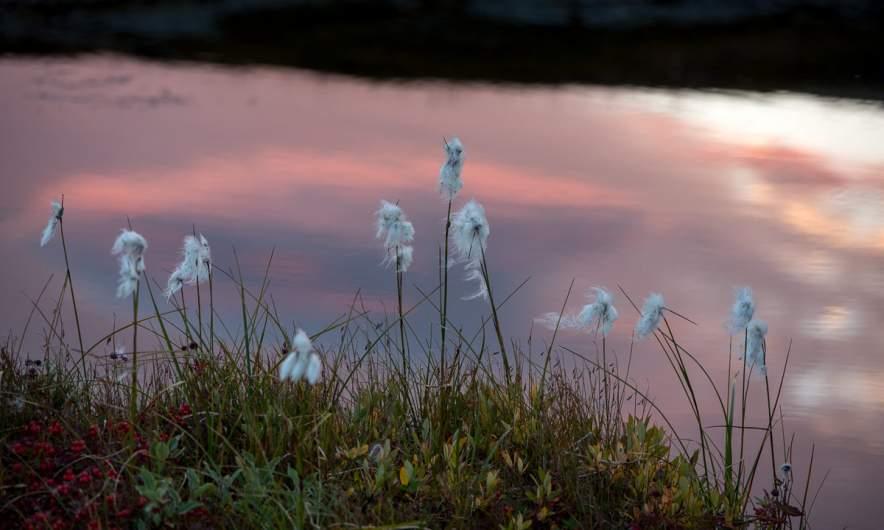 Cotton grass in the evening light
