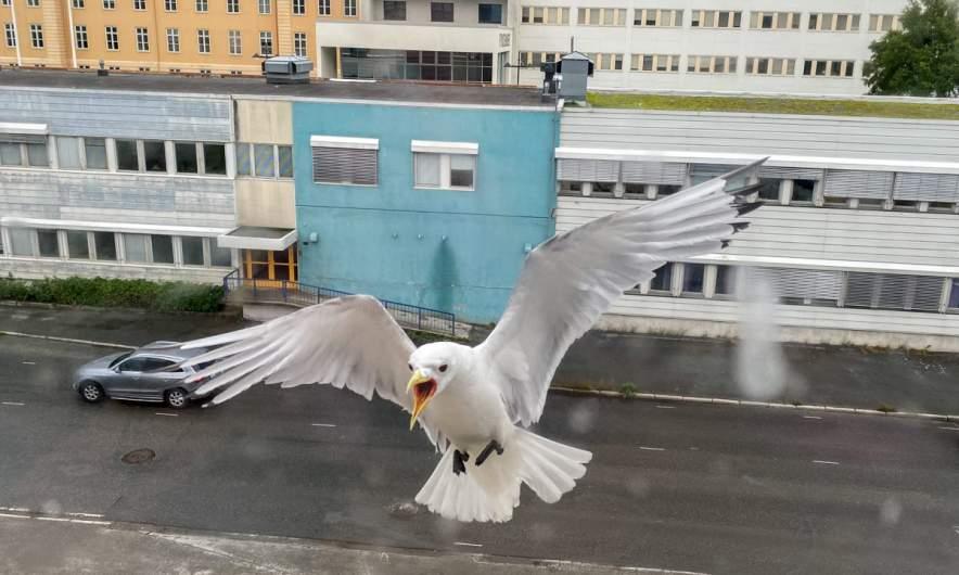 Seagull approaching