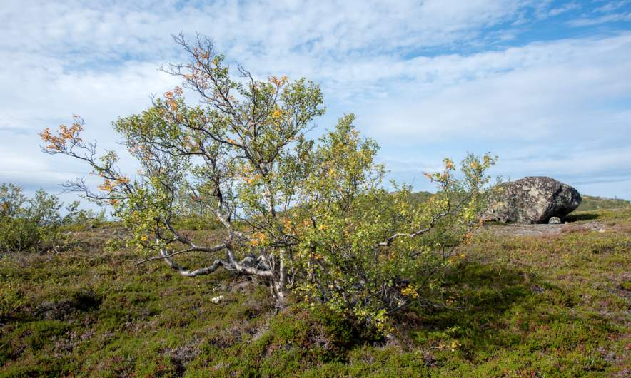 A bit of autumn in the fjell