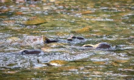 Humpback salmon in the river Jakobselva